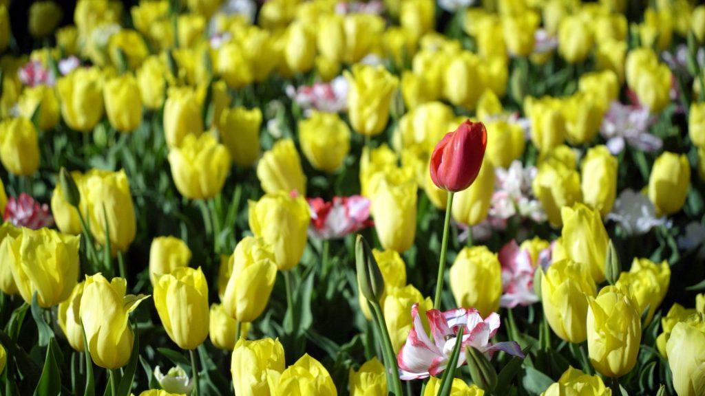 araluen-tulip festival