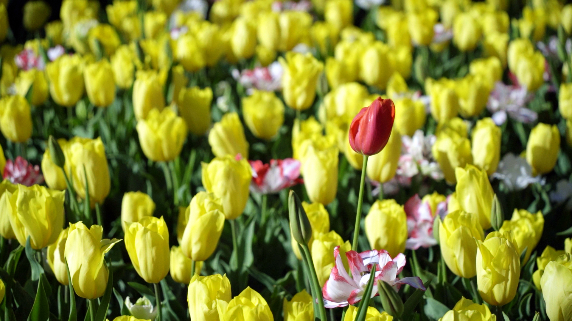 You are currently viewing A Sea of Colour As Spring Blooms in Araluen Botanic Park